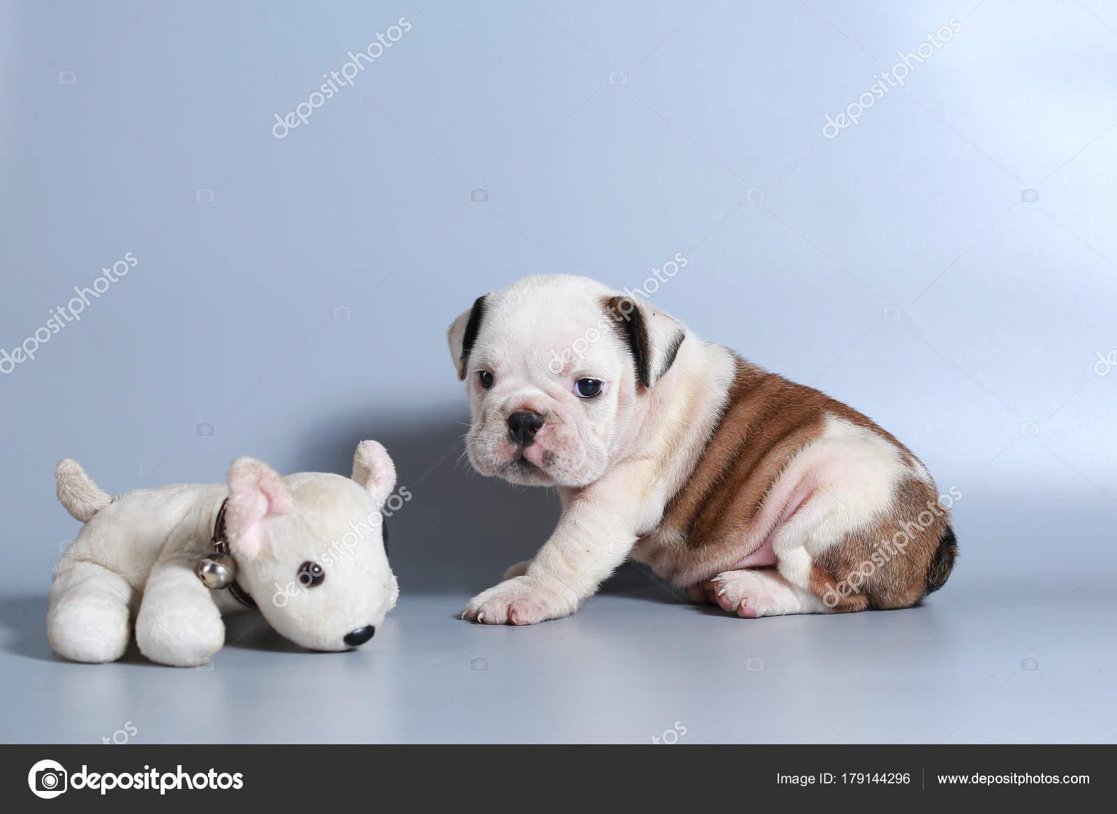 Month Purebred English Bulldog Puppy Gray Screen Stock Photo C S Thanawathreborn Gmail Com 179144296