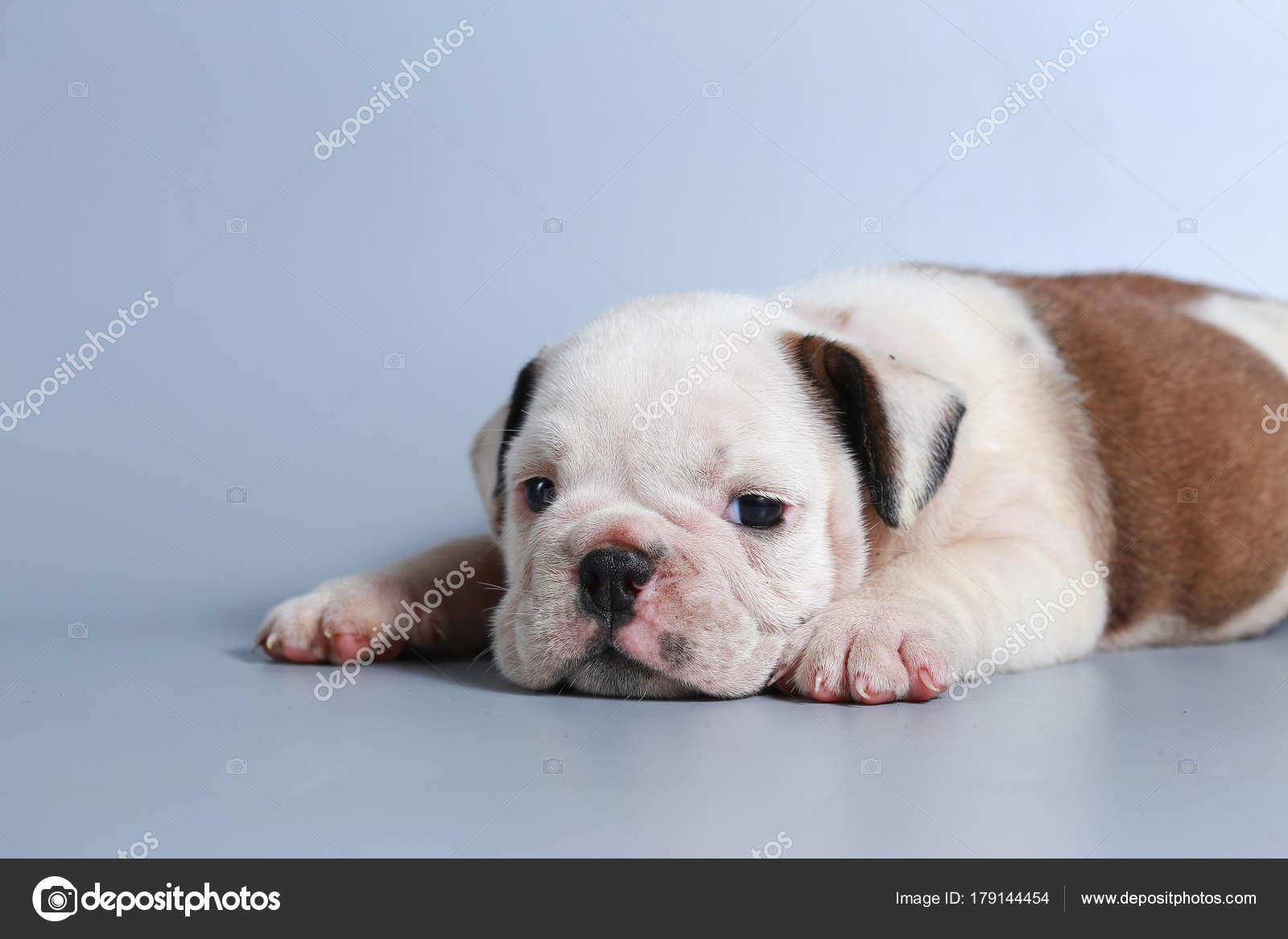 Month Purebred English Bulldog Puppy Gray Screen Stock Photo C S Thanawathreborn Gmail Com 179144454