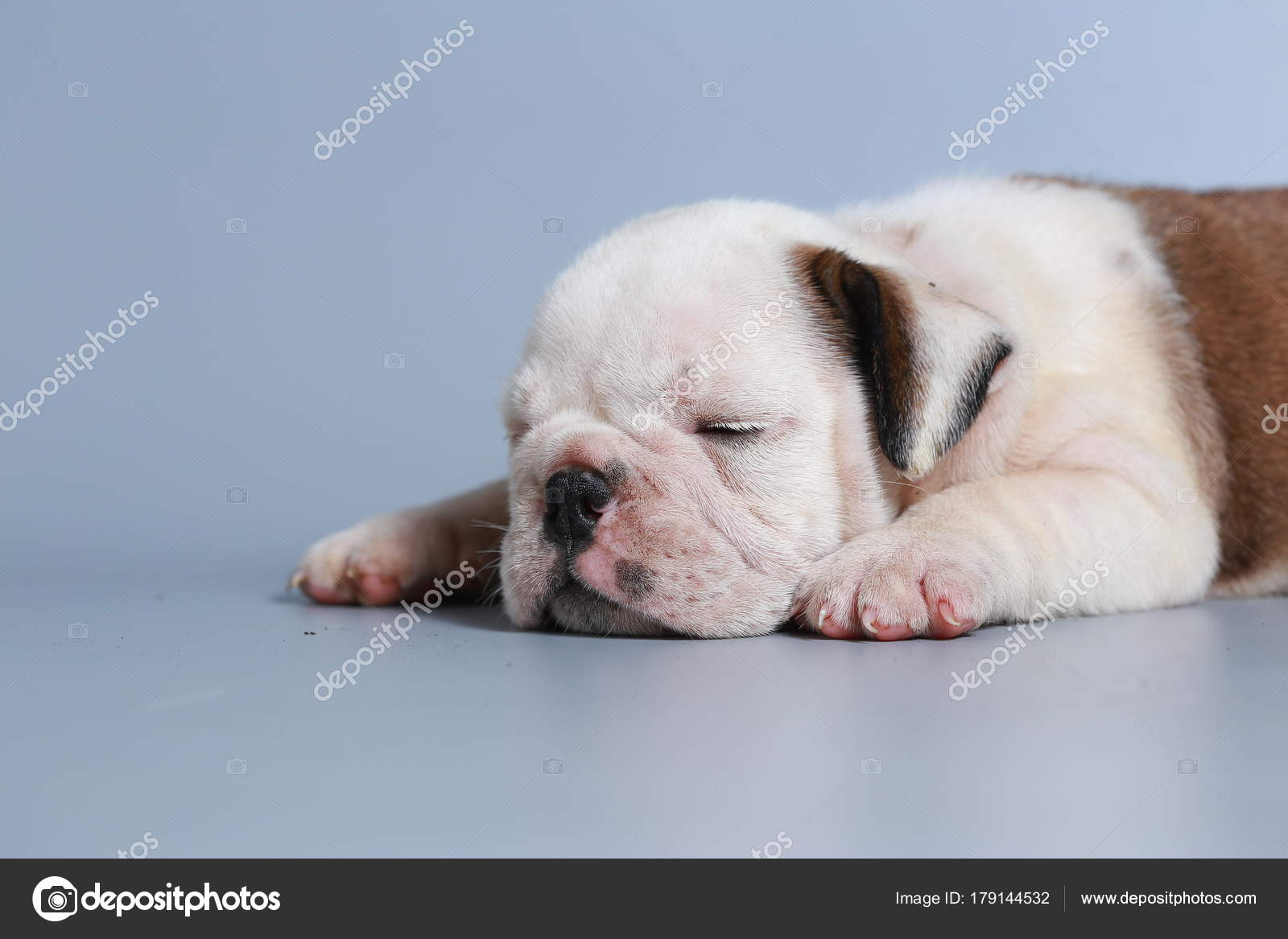 Month Purebred English Bulldog Puppy Gray Screen Stock Photo C S Thanawathreborn Gmail Com 179144532
