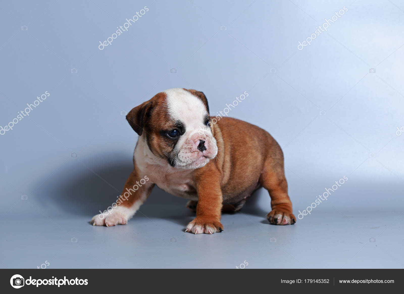 Month Purebred English Bulldog Puppy Gray Screen Stock Photo C S Thanawathreborn Gmail Com 179145352