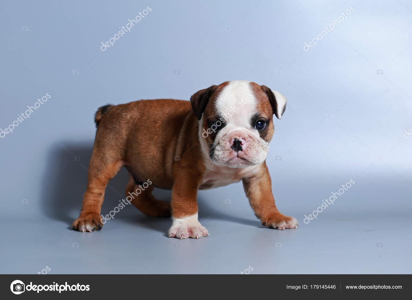 Month Purebred English Bulldog Puppy Gray Screen Stock Photo C S Thanawathreborn Gmail Com 179145446