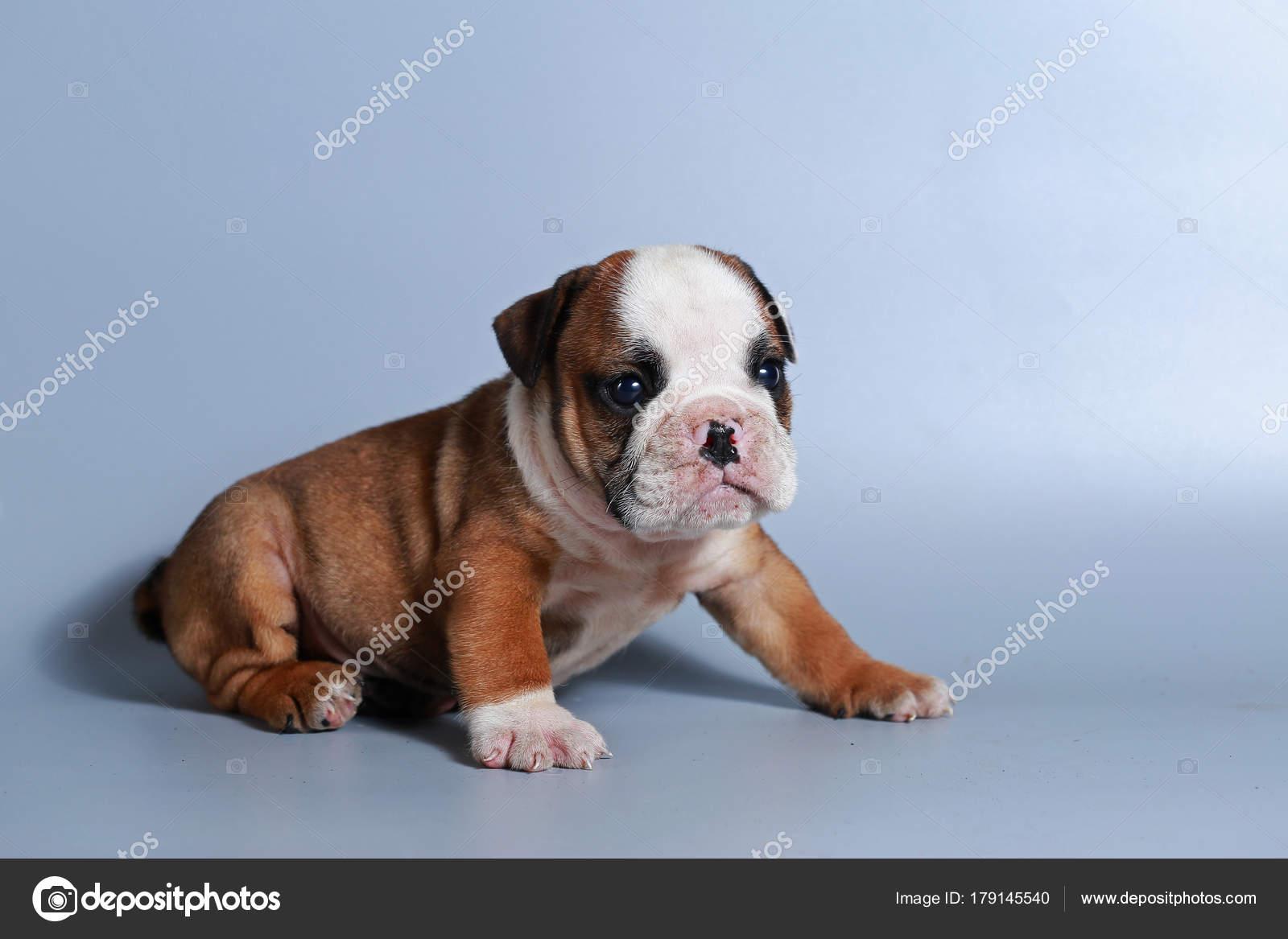 Month Purebred English Bulldog Puppy Gray Screen Stock Photo C S Thanawathreborn Gmail Com 179145540