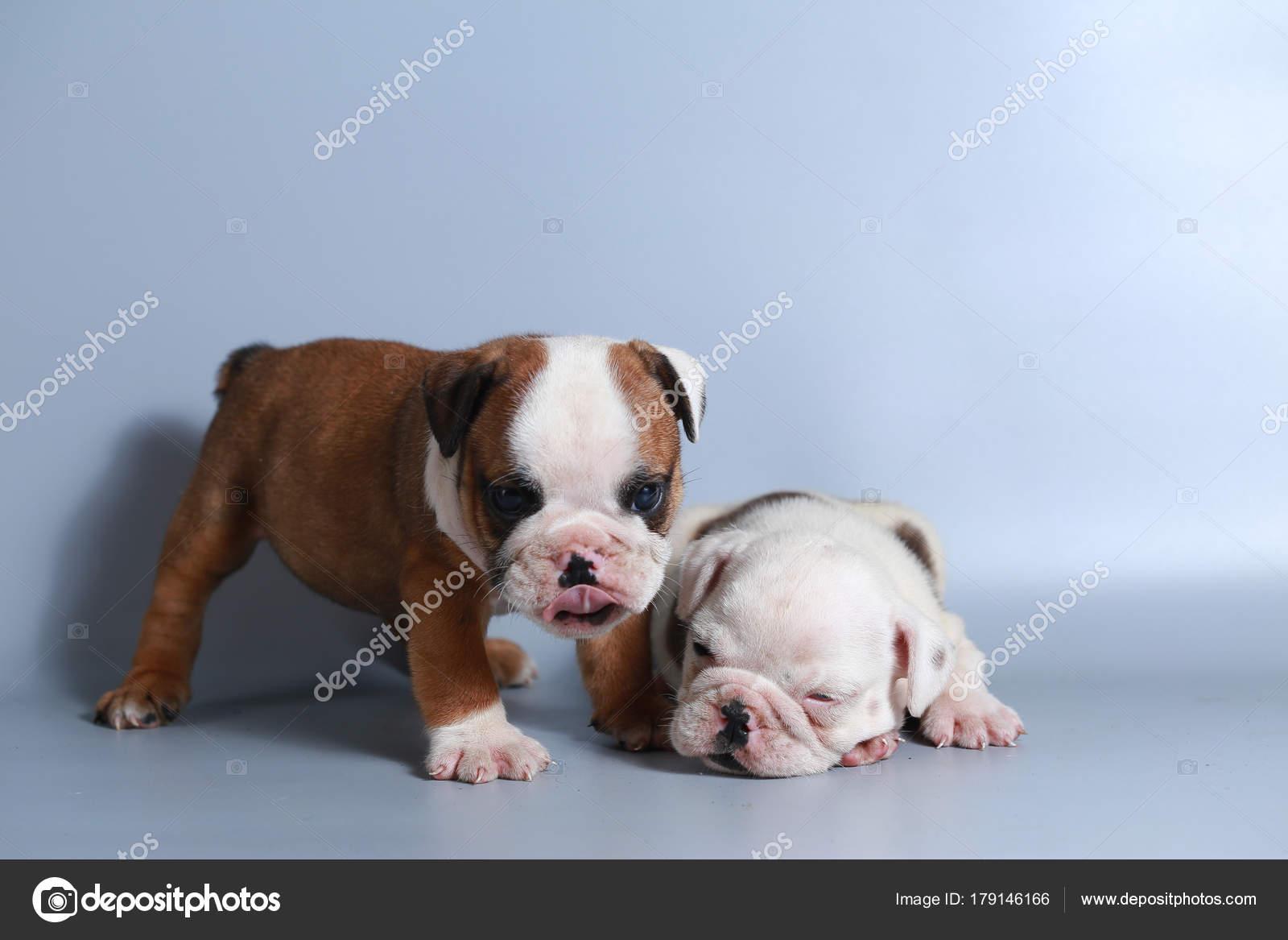 Month Purebred English Bulldog Puppy Gray Screen Stock Photo C S Thanawathreborn Gmail Com 179146166