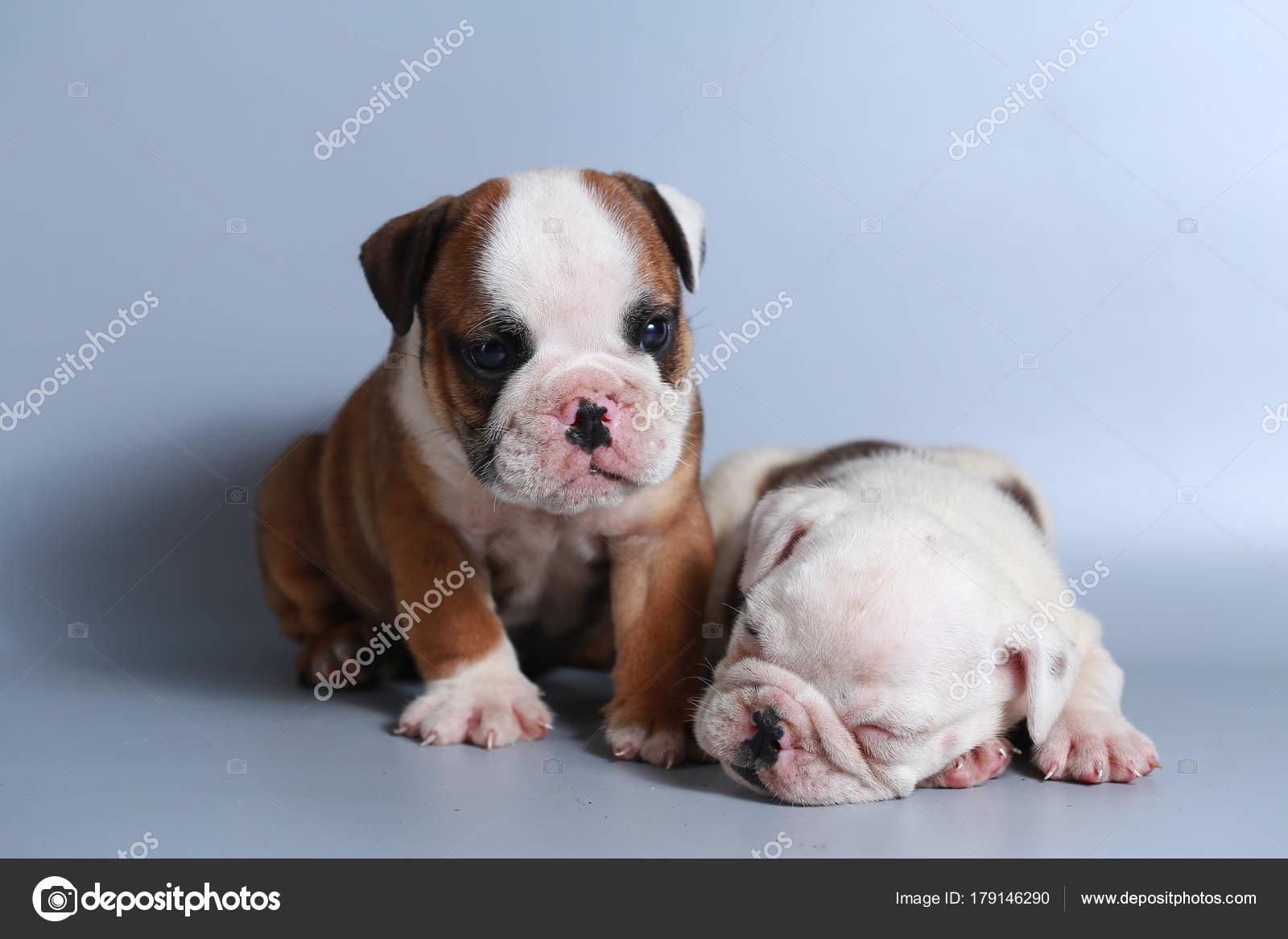Month Purebred English Bulldog Puppy Gray Screen Stock Photo C S Thanawathreborn Gmail Com 179146290