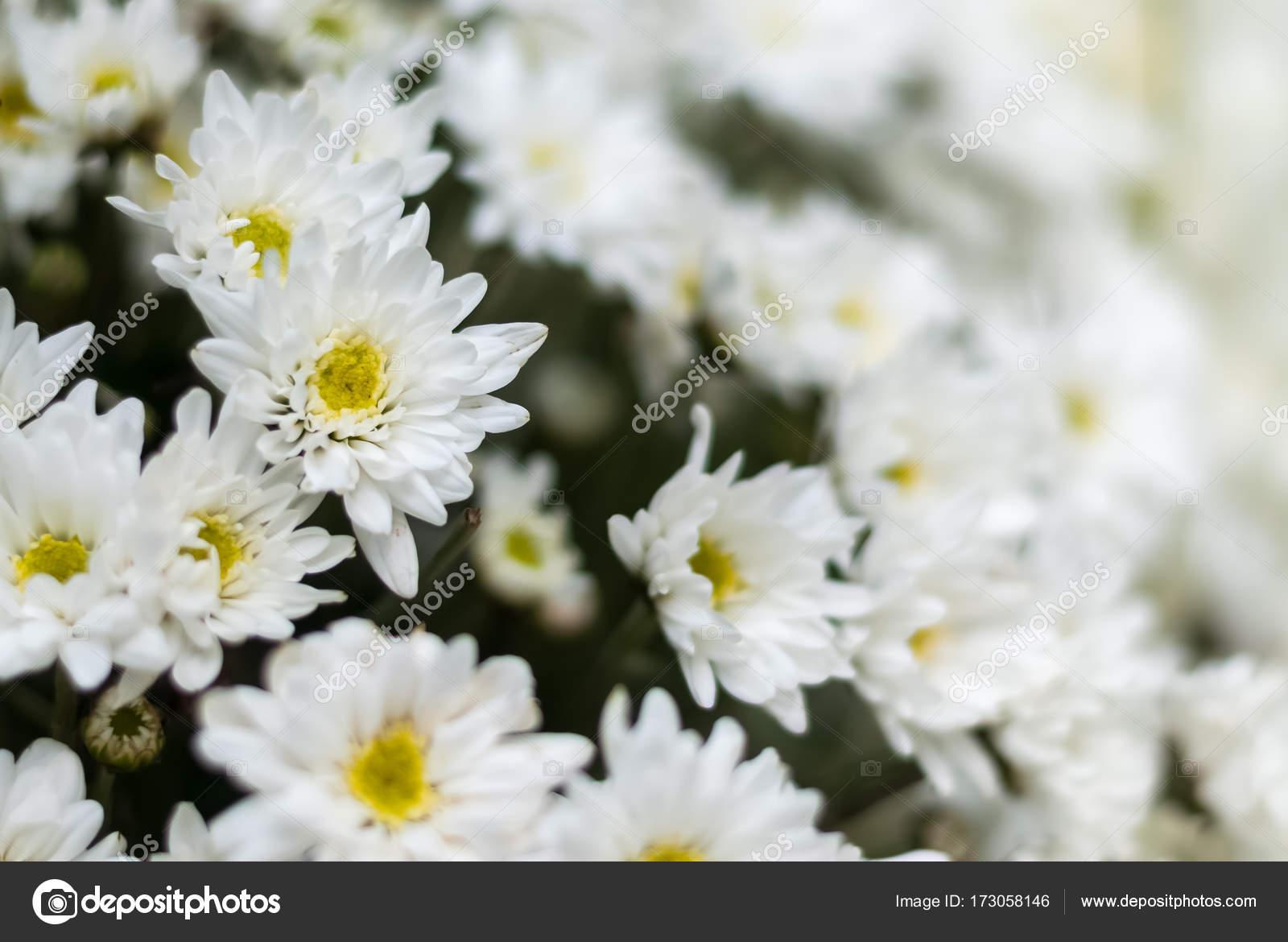 Closeup white chrysanthemum flower bouquet stock photo closeup white chrysanthemum flower bouquet stock photo mightylinksfo