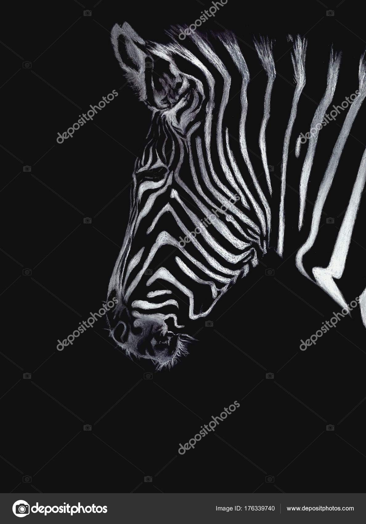 Hand drawn zebra portrait isolated on black background colored pencils and pastel drawing animals illustration for interiors photo by