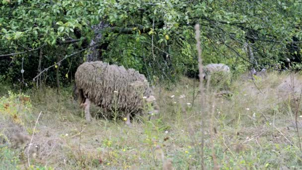 sheep grazing. flock of sheep grazes on a green field. Close-Up Herd of Sheep Eating Grass near the trees