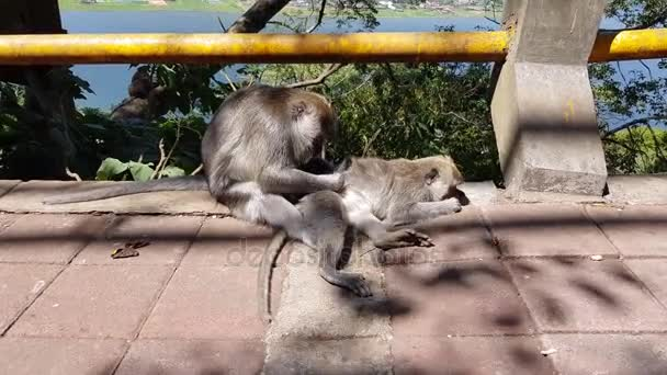 A monkey checking for fleas and ticks. Monkey scratching other monkeys back on concrete fence in park. One monkey helps to get rid of fleas to another, Bali, Indonesia