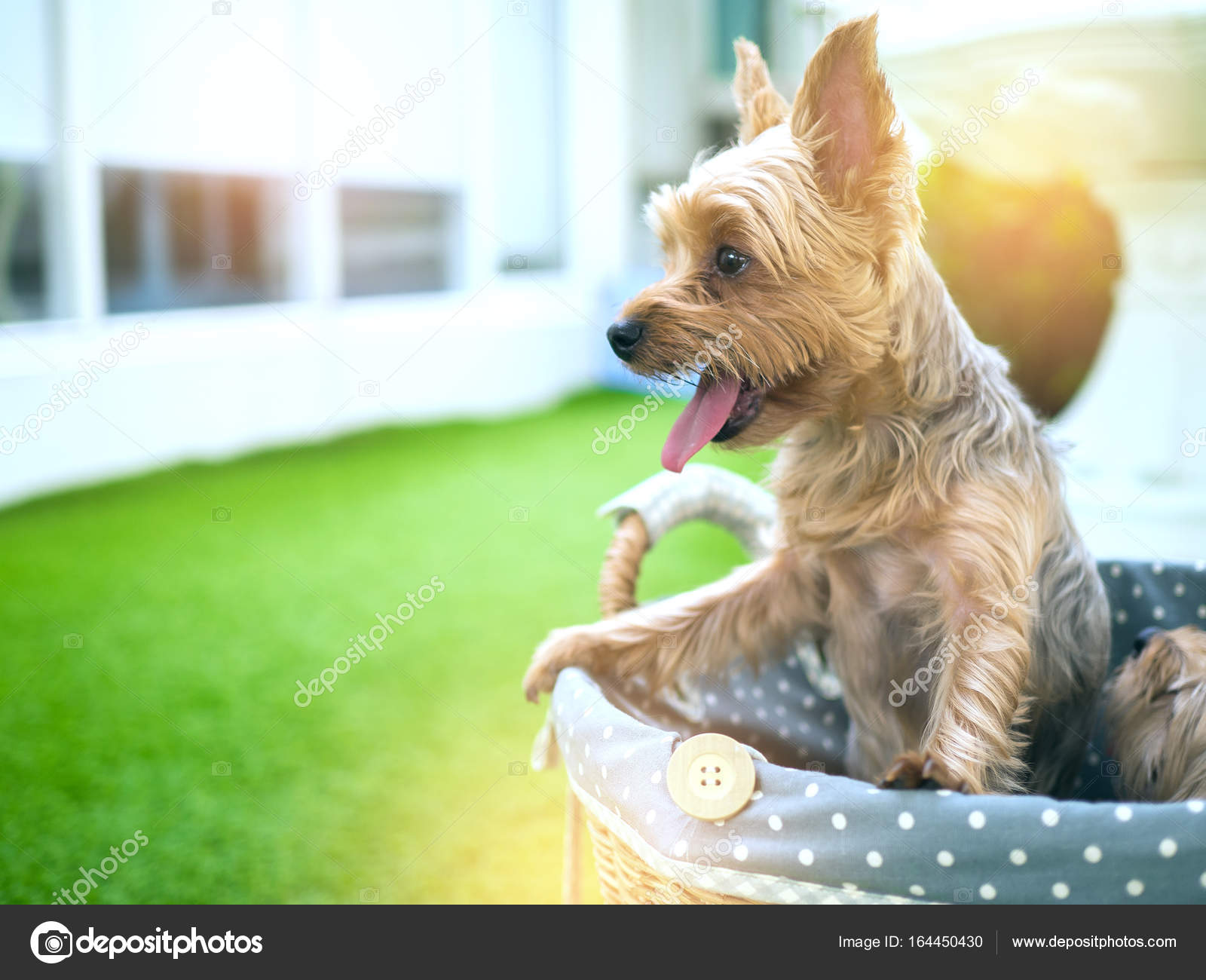 Small Cute Funny Yorkshire Terrier Puppy Dog Stand On The Table