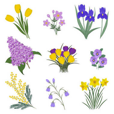 Collection of yellow and purple flowers on a white background. There are mimosa, tulips, bells, pansies, irises, lilacs, anemone, crocuses and daffodils in the picture. Vector illustration.