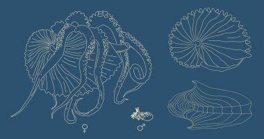 Vector line illustration of Argonaut. Ancient octopus with shell.