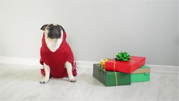 Kutya tenyészt egy Mops rénszarvas öltönyt. A kutya fárasztó egy piros-fehér pulóvert, ül mellett mutatja be. Boldog karácsonyt. Boldog Új Évet