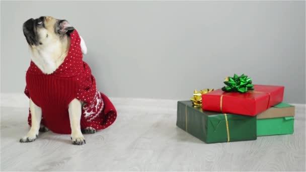 Krásný pes plemene Mops v obleku sobů. Pes je oblečená v Červeno bílý svetr a představuje sedící vedle. Veselé Vánoce. Šťastný nový rok
