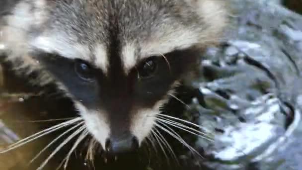 Cute racoon washing paws
