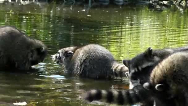Racoons fight water closeup