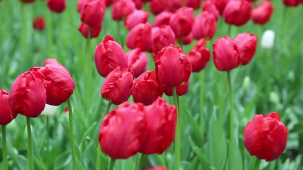 Red tulips flower bed background