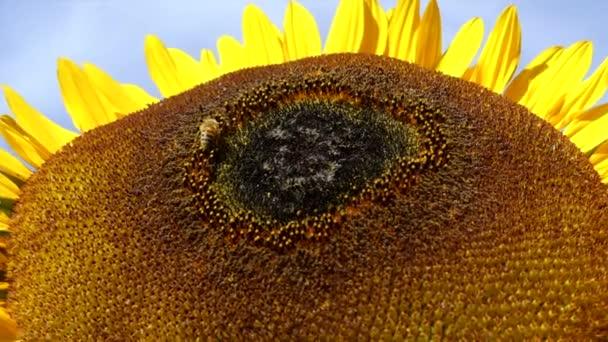 Sunflower closeup bee working pollen closeup