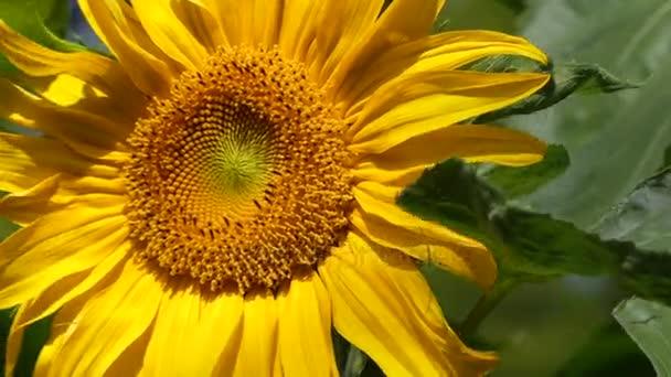 Virbant sunfloweryellow okvětní lístky closeup stěhování