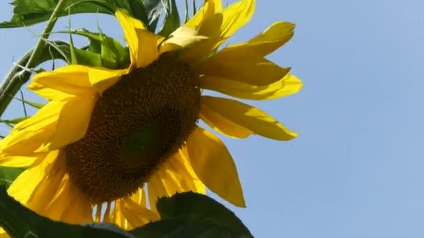 Jeden detailní slunečnice hlavou modré nebe