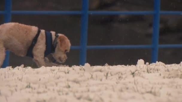 Cavachon pes hrát sníh