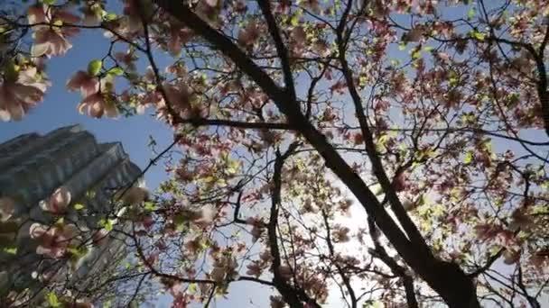Sun Beams Blossom Magnolia Tree Crown Blue Sky Stock Video