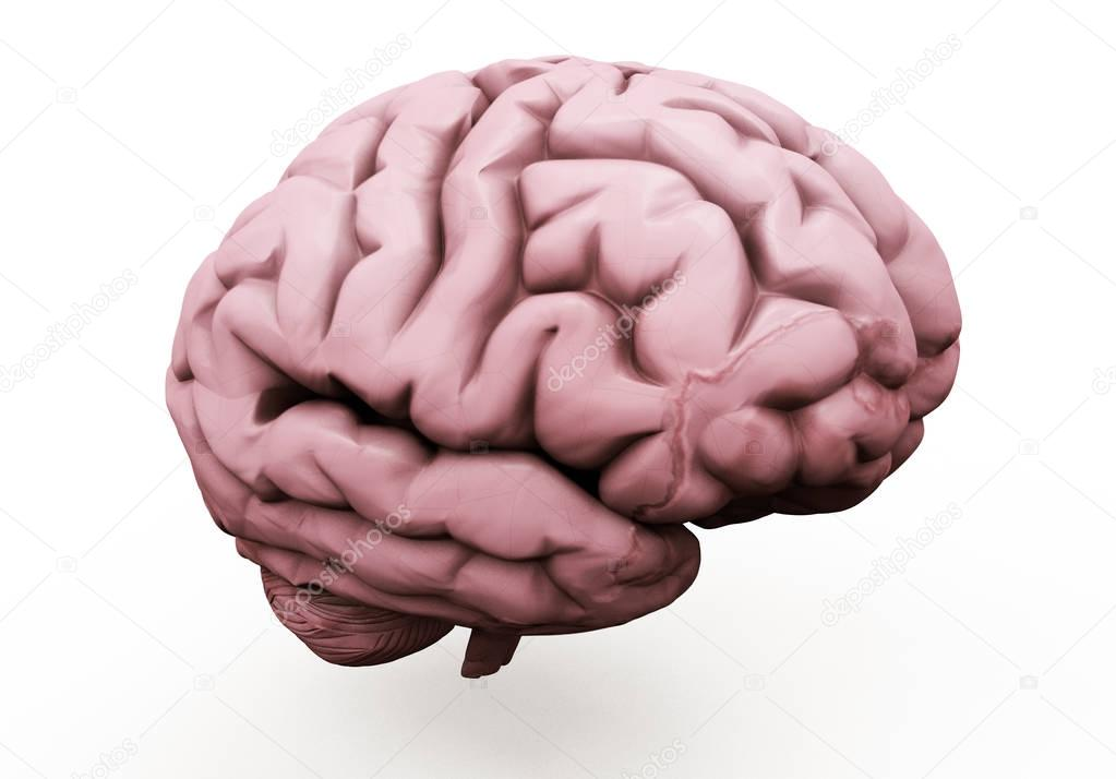 Realistic 3d Illustration of human brain front view ...