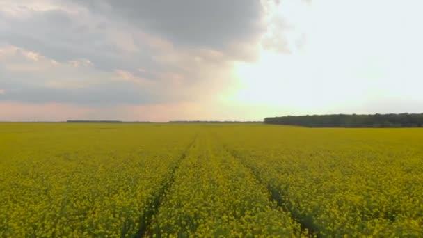 Pohled na žluté kanolové pole. Řepkové pole s pruhy jasně žluté řepky a létajících ptáků.