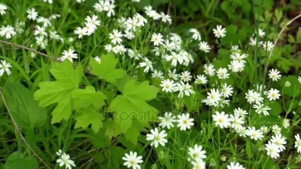 Letní ráno nad polem heřmánek. Daisy oka je široce kultivovaný a je k dispozici jako trvalka, kvetoucí okrasné rostliny pro zahrady a louky krajiny