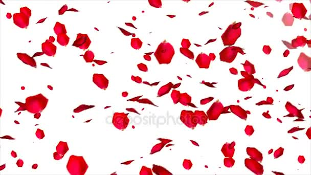 Falling Rose petals on white background