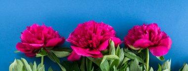 flowers peonies, maroon peonies, blue background, banner