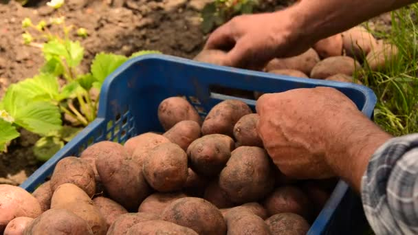 Farmer collects potatoes. Fresh organic potato. Healthy food with vitamins. Ready for cooking vegetables.