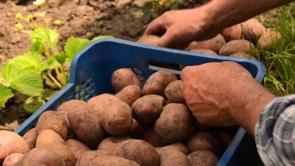 Farmář shromažďuje brambory. Čerstvé z ekologicky pěstovaných brambor. Zdravé jídlo s vitamíny. Připraven k vaření zeleniny