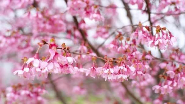 Začátkem jara. Větve kvetoucích třešní s růžovými květy kymácející se ve větru