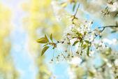 Květy stromu větev. Třešňové květy na jaře.
