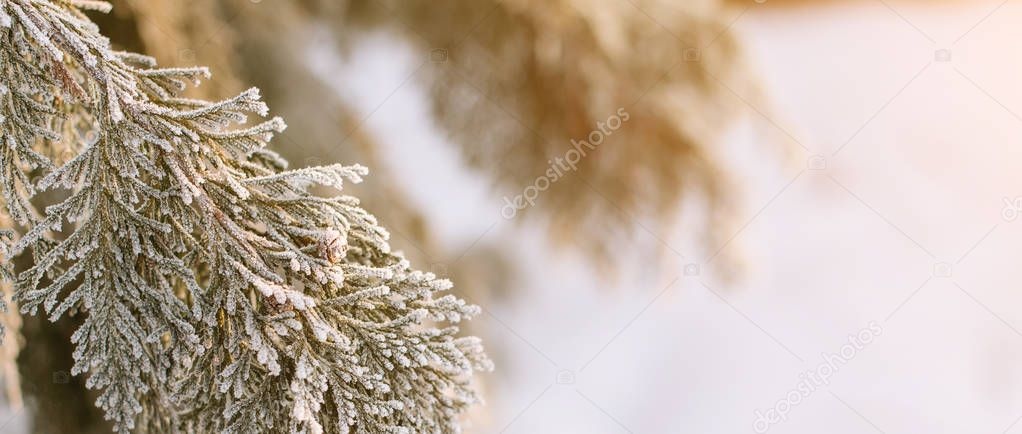 Frozen thuja branches. Winter background and copyspace.