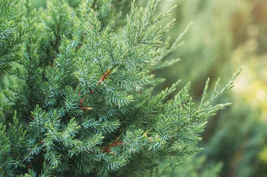 Cypress tree branch in a garden. stock vector