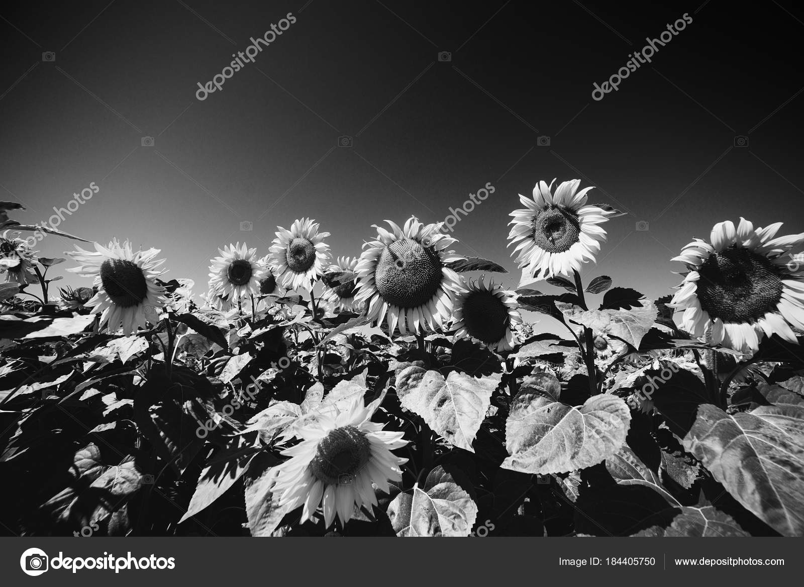 Sunflowers Field Black And White Image Stock Photo Volurol