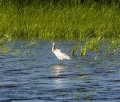 Královská kolpíků je velký pták zobákem tvar velké lžíce