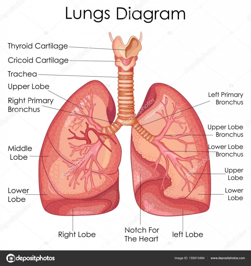 Gráfico de educación médica de la biología para el diagrama de los ...