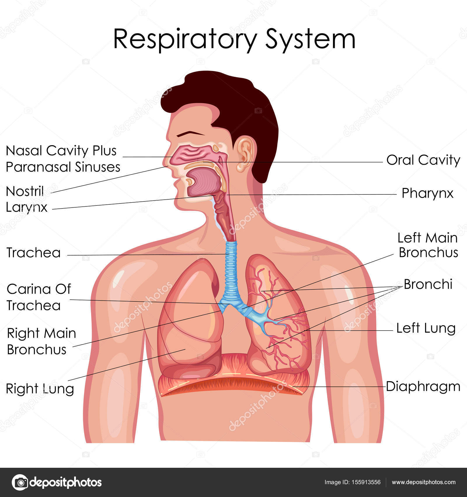 Medical education chart of biology for respiratory system diagram medical education chart of biology for respiratory system diagram stock vector ccuart Image collections
