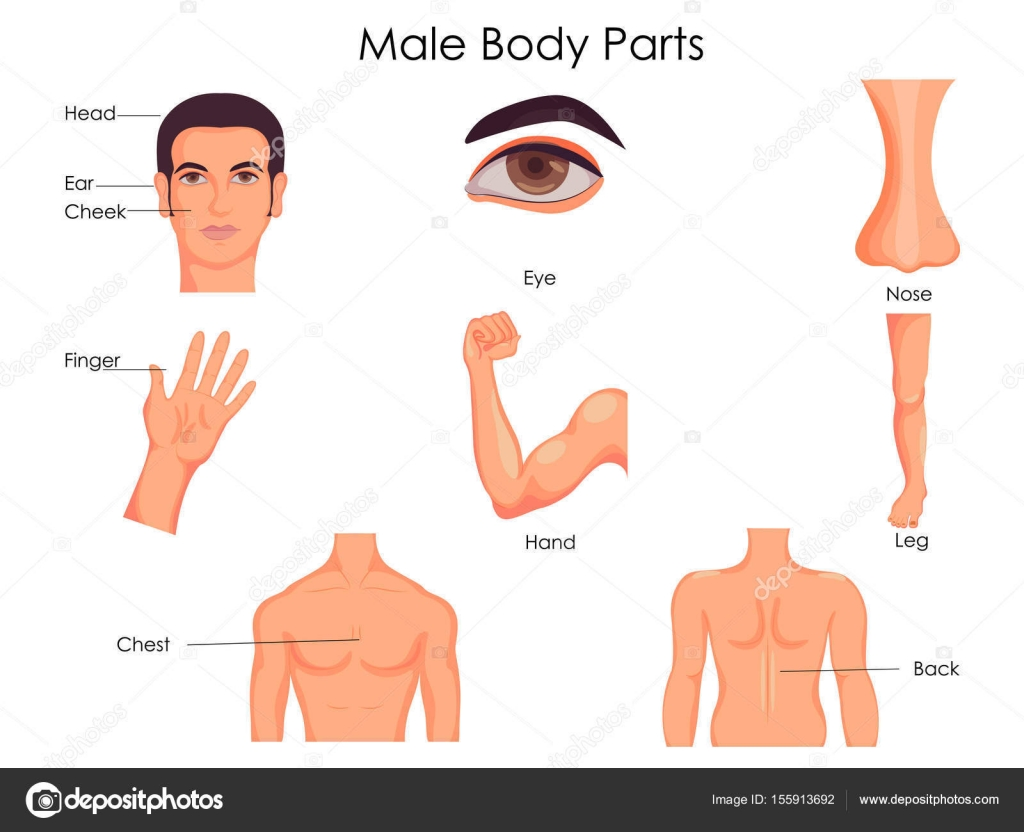medical education chart of biology for male body parts diagram — stock  vector