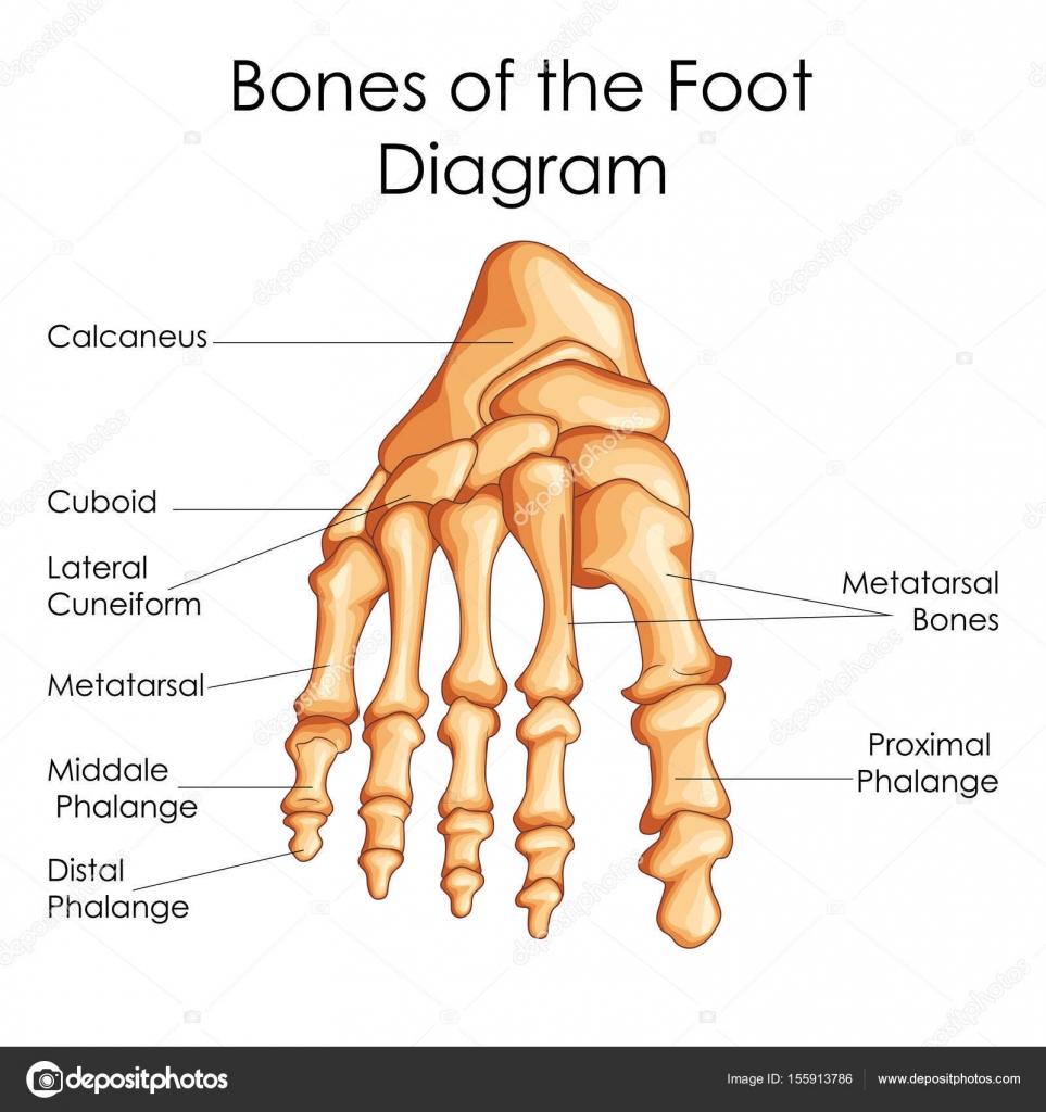 Medical Education Chart Of Biology For Bones Of Foot Diagram Stock
