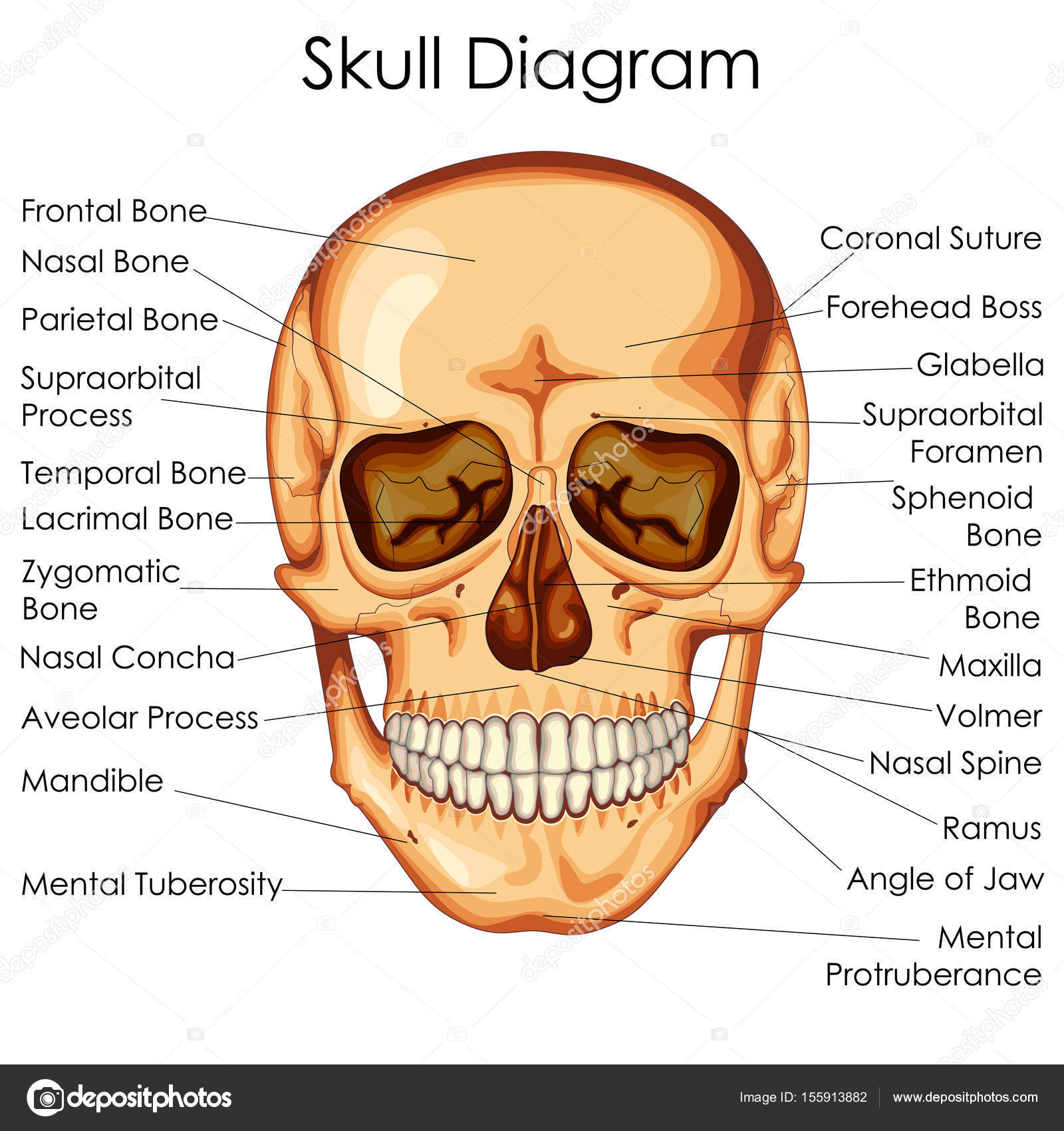 medical education chart of biology for human skull diagram — stock vector
