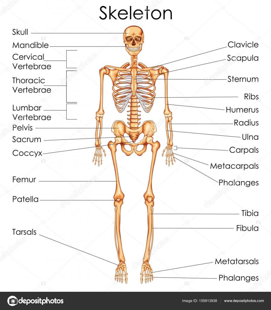 Medizinische Ausbildung-Diagramm der Biologie für menschliche ...