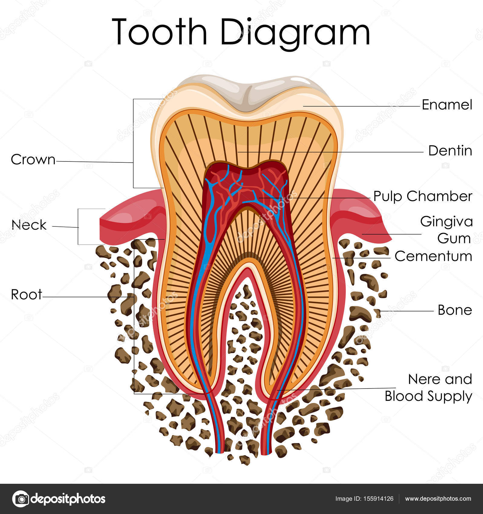 Medical Education Chart Of Biology For Tooth Anatomy Diagram Stock