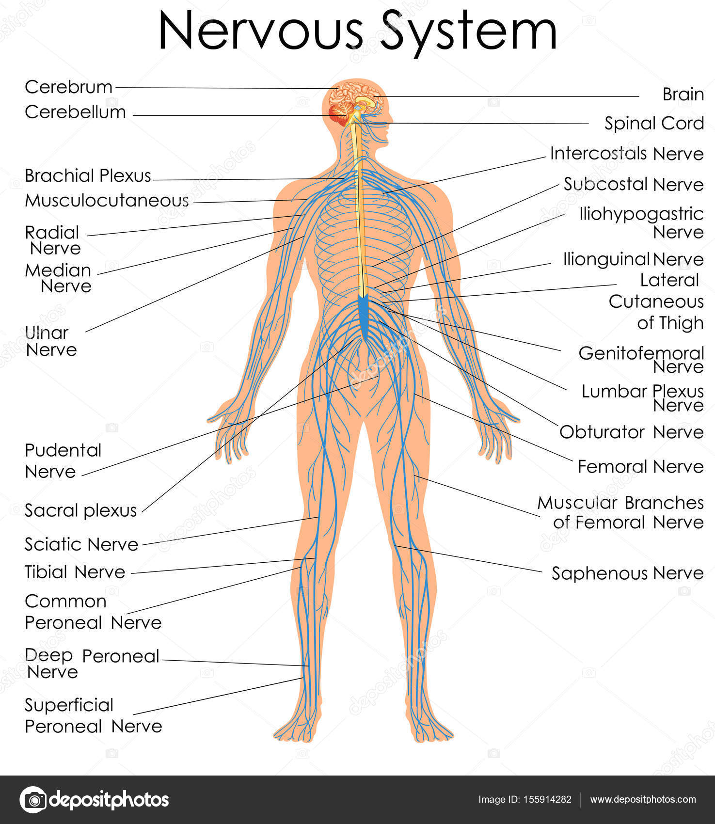 Diagram of nervous system of the leg search for wiring diagrams medical education chart of biology for nervous system diagram rh depositphotos com nervous system diagram labeled nervous system diagram labeled ccuart Image collections