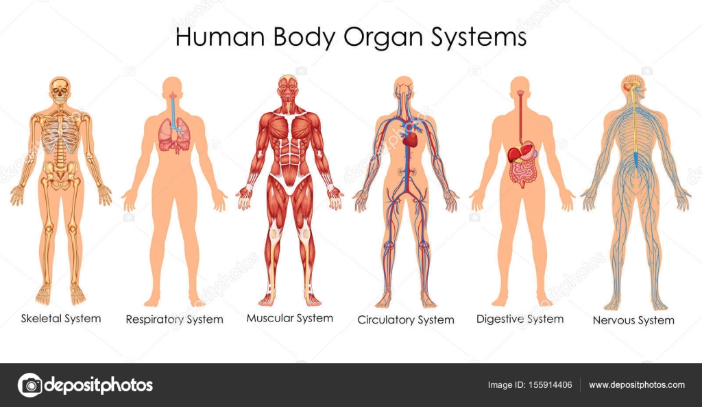 Medical education chart of biology for human body organ system medical education chart of biology for human body organ system diagram vector illustration vector by vecton ccuart Images