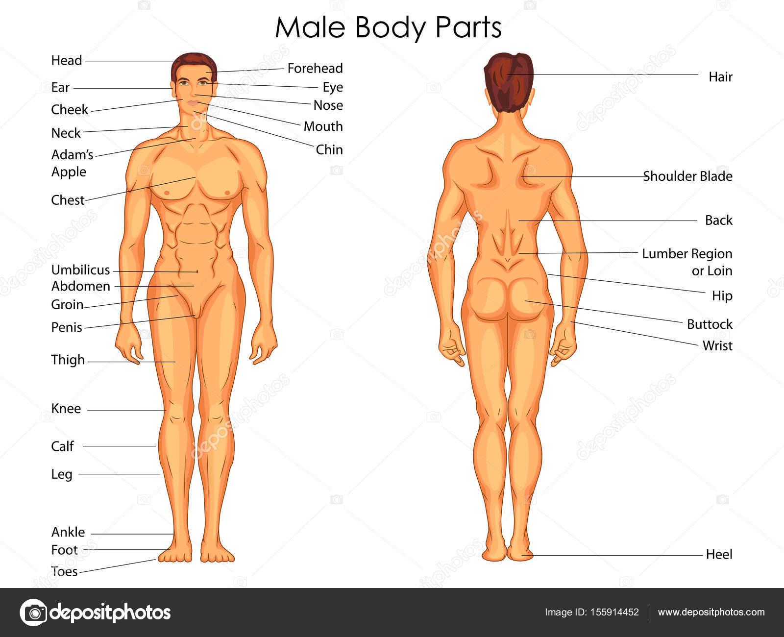 Gráfico de educación médica de la biología para el cuerpo masculino ...