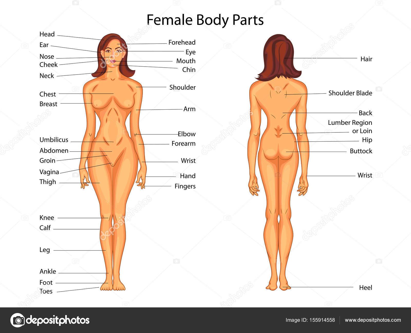 Gráfico de educación médica de la biología para el cuerpo de la ...