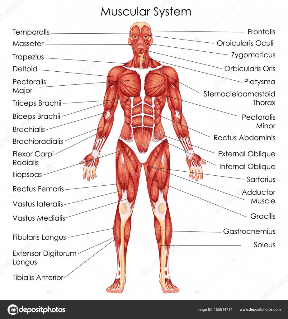Medical education chart of biology for muscular system diagram medical education chart of biology for muscular system diagram stock vector pooptronica